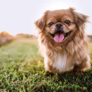 Happy Pekingese in the Grass