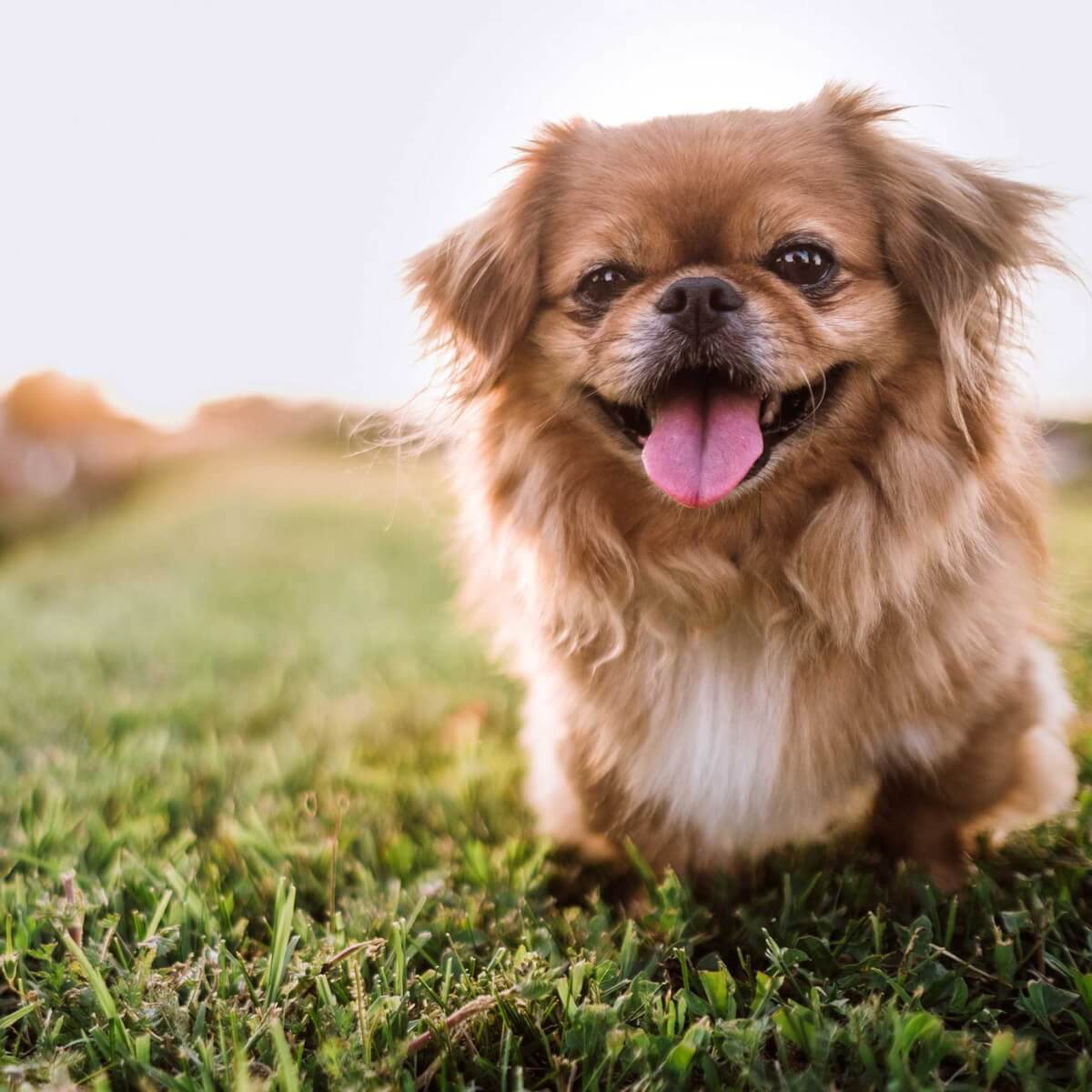 Pekingese Dog Breed Information Pictures More