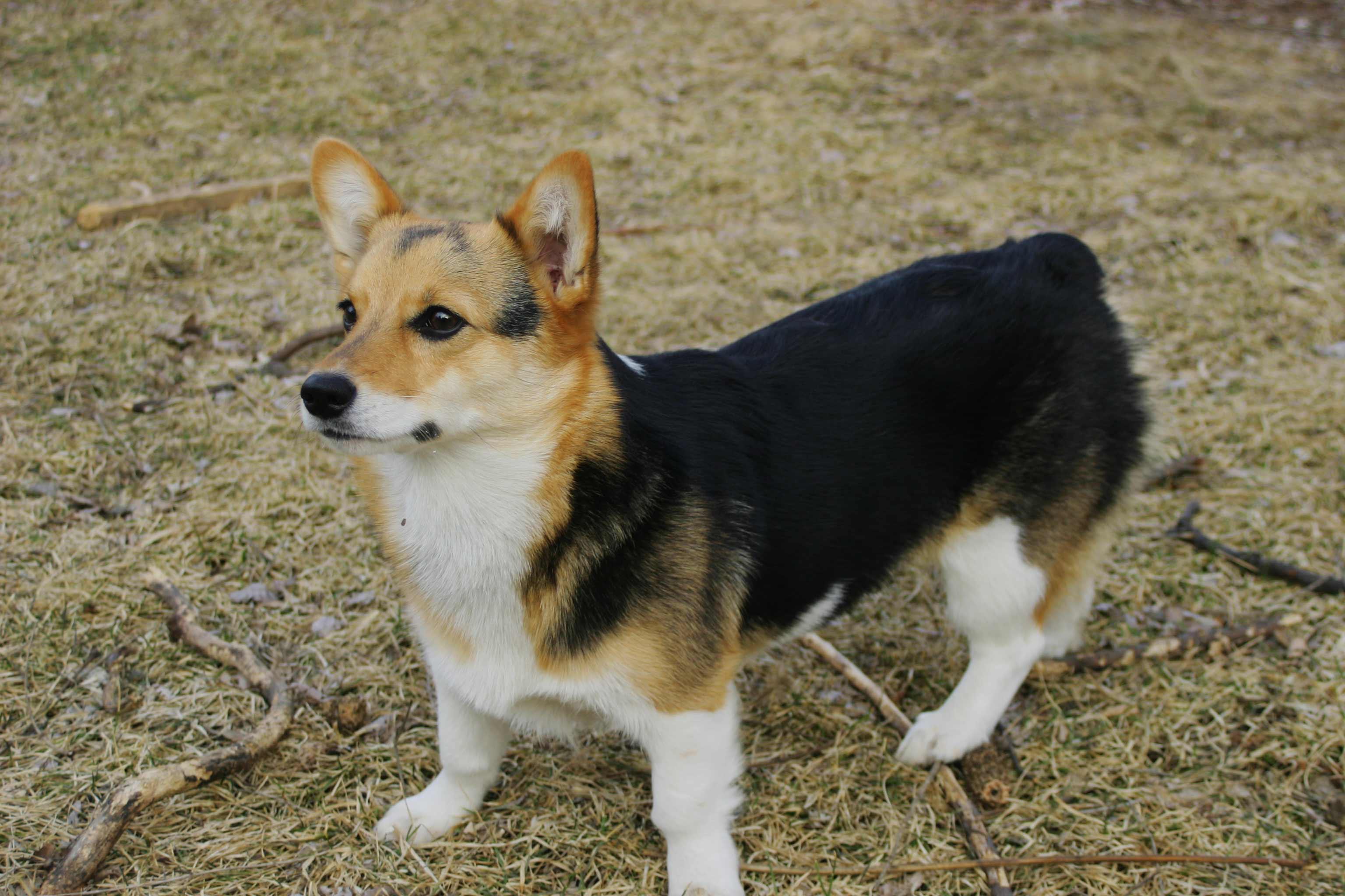 pembroke welsh corgi dog breed 187 info pics amp more