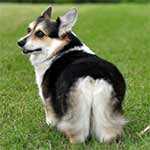Black And White Pembroke Welsh Corgi