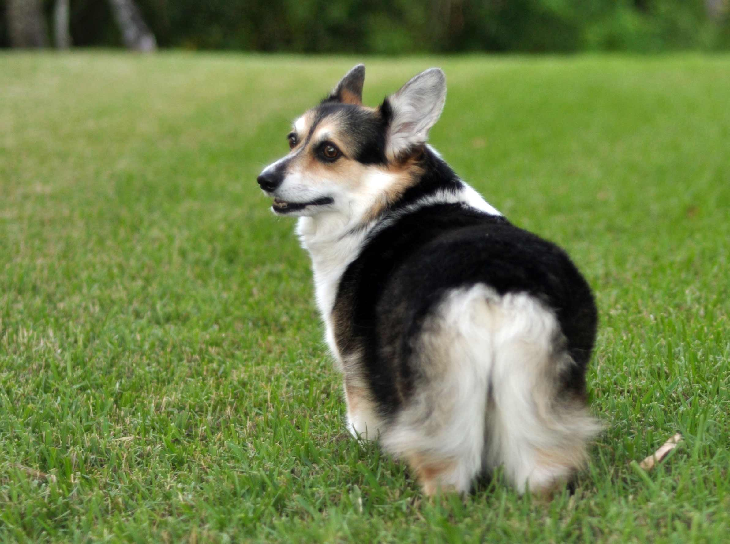 Cardigan Corgi Dog Breed Info