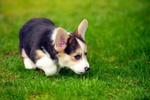 Black & Tan Pembroke Welsh Corgi Puppy