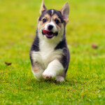 Black & Tan Pembroke Welsh Corgi Puppy