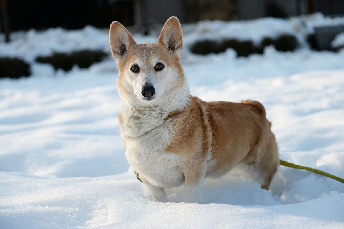 Pembroke Welsh Corgi Dog Breed » Info, Pics, & More - photo#18