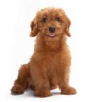 Petite (Miniature) Goldendoodle Puppy