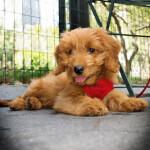 Petite Goldendoodle Puppy