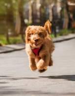 Petite Goldendoodle Running