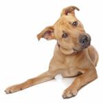 Golden Pitweiler (Pitbull Rottweiler Mix)