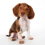 Brown & White Pocket Beagle
