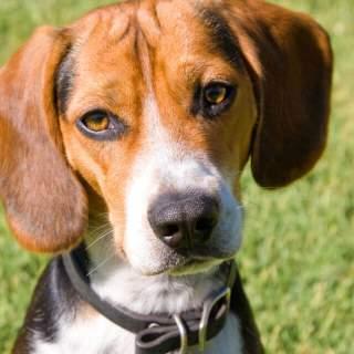 Tri-Color Pocket Beagle