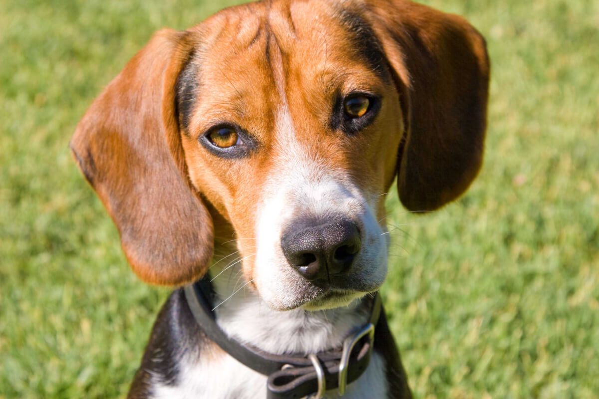Pocket Beagle Dog Breed » Everything About Pocket Beagles