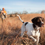 Liver and White English Pointer Hunting