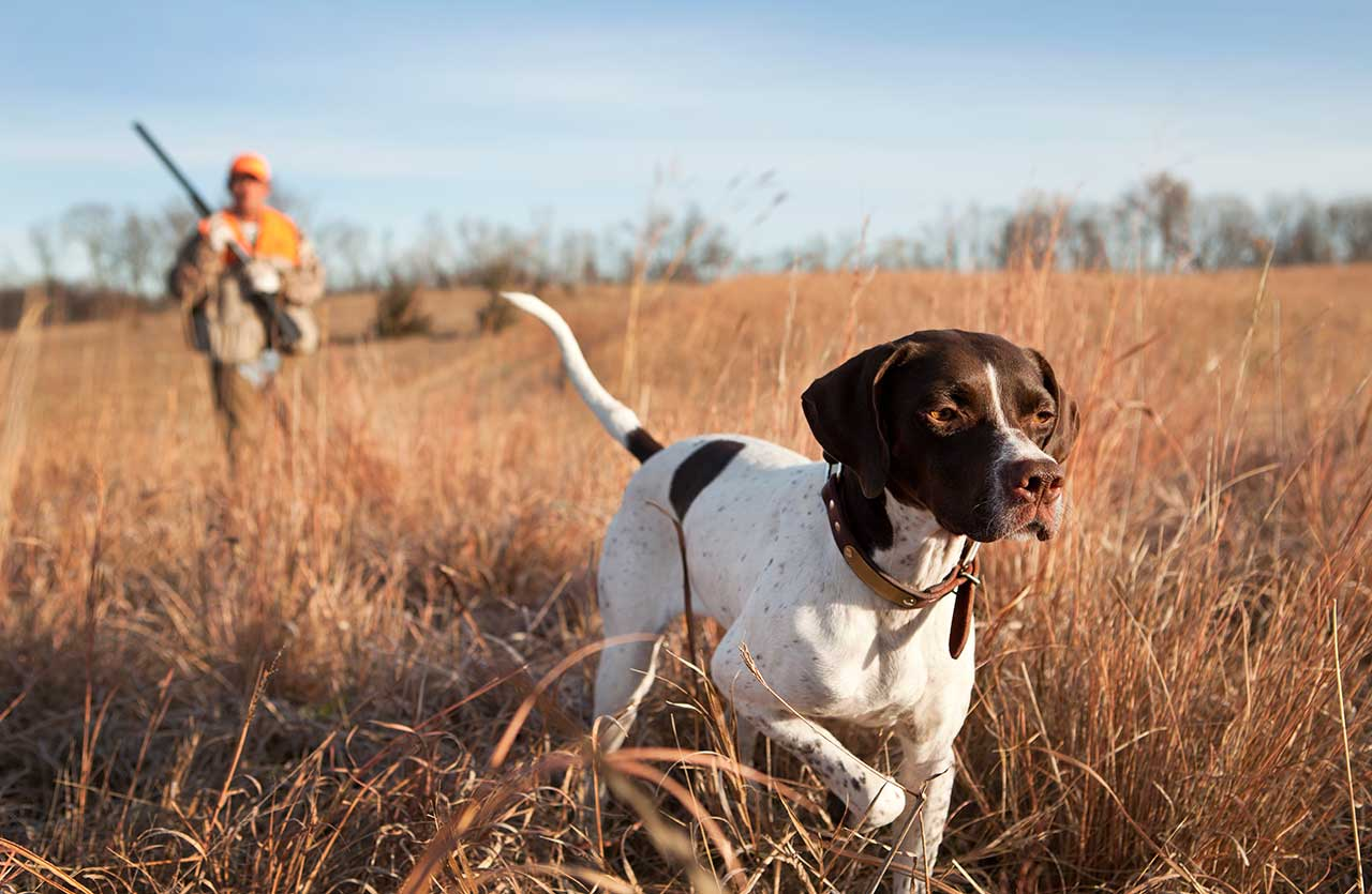 Pointer Dog Breed 187 Everything About Pointer