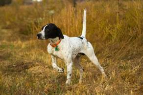 Black & White English Pointer on Point
