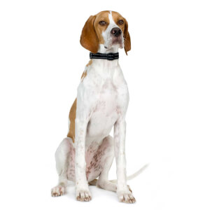 Orange and White English Pointer