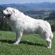 Polish Tatra Sheepdog Dog Breed