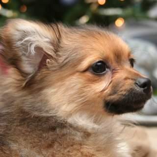 Brown Pomapoo Puppy