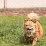 Tan Adult Pomchi