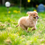 Tan Pomchi Puppy Playing