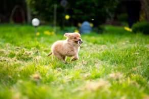 Tan Pomchi Puppy Playing