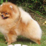 Orange Pomeranian
