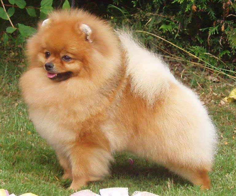 pomeranian allergies pomeranian dog breed 187 information pictures more 1279