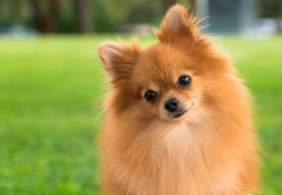 Pomeranian Posing