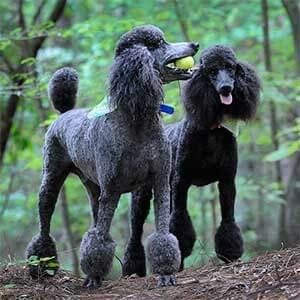 Two Blue Standard Poodles Playing Tennis