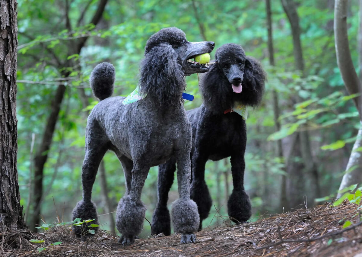 Poodle Dog Breed Information Pictures More