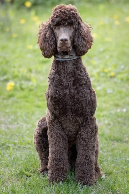 Poodle Dog Breed » Information, Pictures, & More  Poodle Dog Bree...
