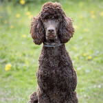 Brown Standard Poodle Sitting