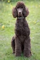 Brown Standard Poodle Sitting