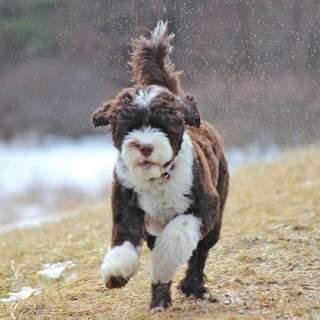 Portuguese Water Dog Splashing in Puddles