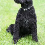 Black Portuguese Water Dog