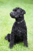 Black Portuguese Water Dog