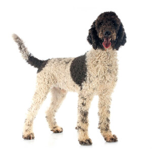 White & Brown Portuguese Water Dog