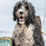 Wet Portuguese Water Dog