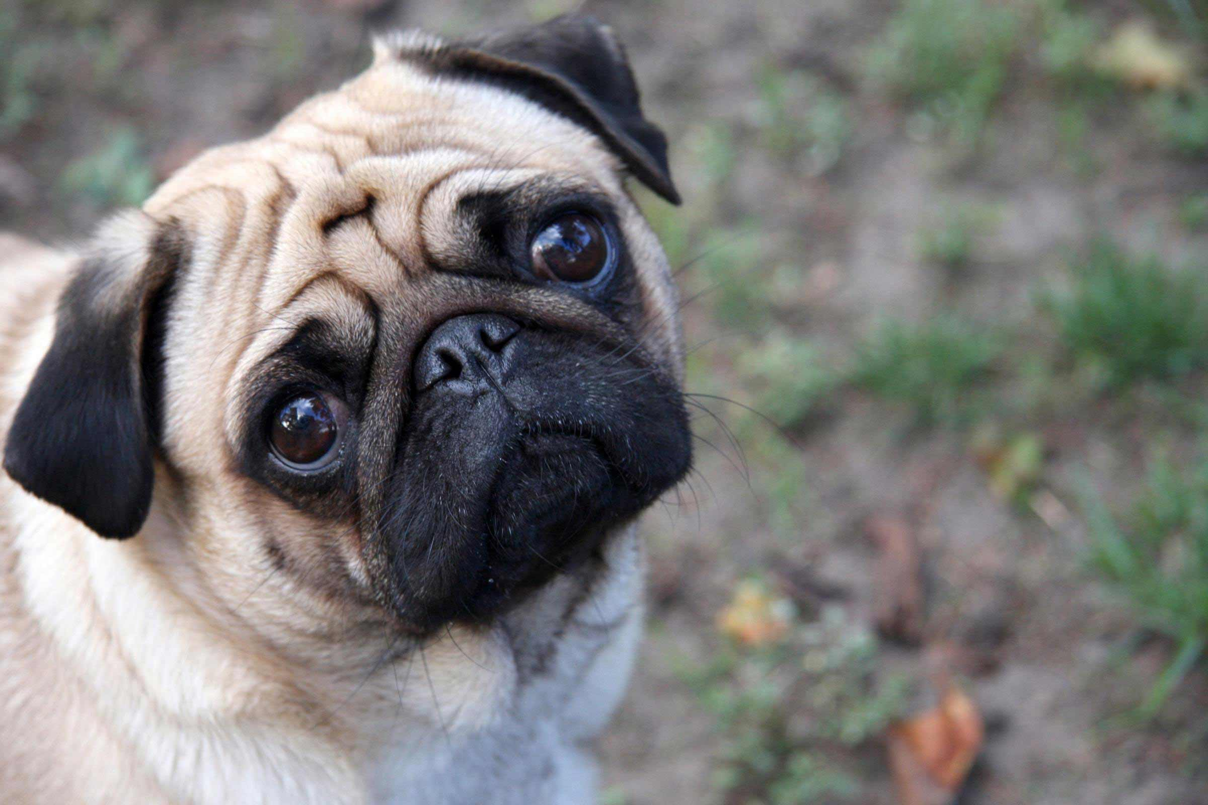 Pug Dog Breed Information Pictures More