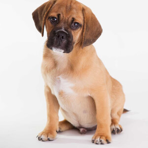 Puggle Dog Names
