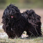 Black Puli Dog