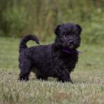 Black Pumi Puppy