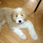 Pyredoodle - Great Pyrenees Poodle