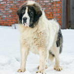 White & Black Pyrenean Mastiff