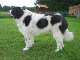 White & Black Pyrenean Mastiff