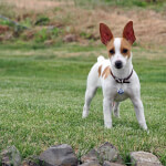 White & Fawn Rat Terrier