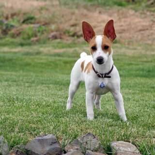 White & Fawn Rat Terrier