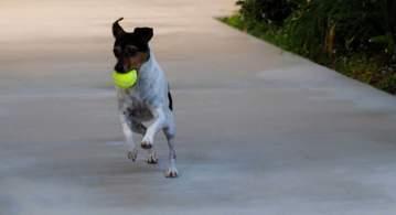 White, Tan, & White Rat Terrier Running