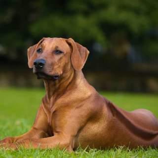 Dog Breed Beginning With U