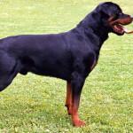 Black & Rust Rottweiler