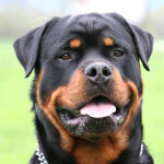Black & Rust Rottweiler Head